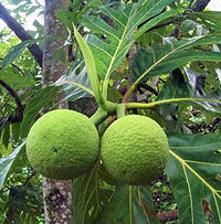 Breadfruit | St. Mary Breadfruit Festival